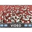 Valentine Hearts Rising Video Background