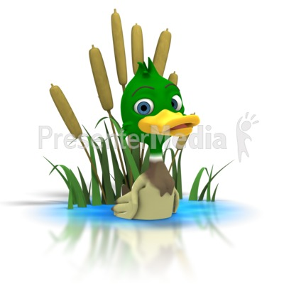 Mallard Duck Sitting In Pond Presentation clipart